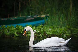 Swan and boat, Cong, County Mayo, Ireland