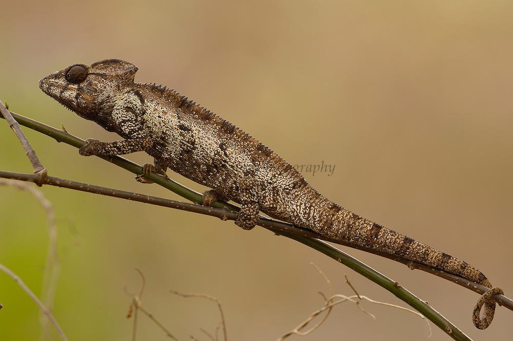 Oustalet's chameleon (Furcifer oustaleti) Loky-Manambato, Daraina. Northern MADAGASCAR