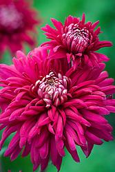 Chrysanthemum 'Regalia Purple'