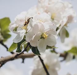 THEMENBILD - Biene in einer Apfelblüte, aufgenommen am 24. April 2020, Kaprun, Österreich // a bee in an apple blossom on 2020/04/24, Kaprun, Austria. EXPA Pictures © 2020, PhotoCredit: EXPA/ Stefanie Oberhauser