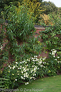 Pruns - Peach trained against a curved brick wall with Nicotiana alata 'Grandiflora' - September