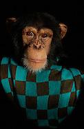 Deutschland, DEU, Krefeld, 2004: Projekt ueber die biologischen Wurzeln der Mode. Die Shootings hierfuer wurden mit Grossen Menschenaffen, die dem Menschen am naechsten sind, im Krefelder Zoo gemacht. Die Tiere waren weder zahm noch trainiert. Die Kleidungsstuecke wurden in die Gehege geworfen und was immer die Tiere damit anstellten, taten sie aus sich selbst heraus. Ein Eingreifen oder gar eine Regie war unmoeglich. Da das Verhalten der Affen im Mittelpunkt stand, wurden die Hintergruende von den Originalfotografien entfernt. Das junge Schimpansen-Maennchen Manni mit einem Tuch von Rene Lezard. | Germany, DEU, Krefeld, 2004: Project to look at the basics and roots of fashion. The shootings took place in the Zoo Krefeld with three species of Great Apes who are the nearest to us. The animals were neither tamed nor trained. Whatever the animals did, they did on their own. Any intervention or directing was impossible. To set the focus on the behaviour of the animals itself we removed the background from the original photographs. Chimpanzee (Pan troglodytes), young male Manni with scarf from René Lezard. |