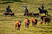 Snelling, California March 15, 2010.Erickson Cattle Company Prey Ranch: Branding spring calfs and getting Cattle ready for 2008 spring cattle drive.. Photo by AL GOLUB/Golub Photography
