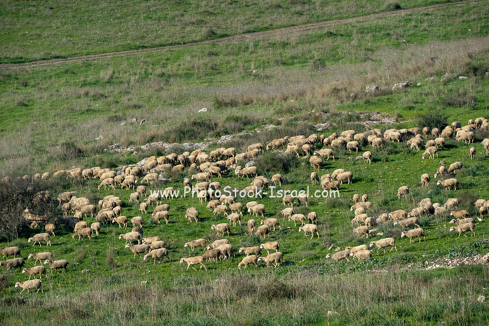 A large flock of sheep grazing in a green meadow. Photographed on Mount Carmel, Israel