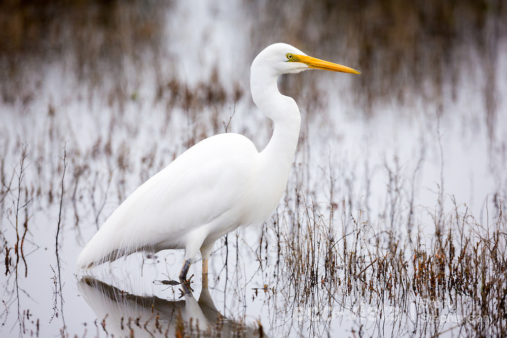 A great egret or white heron (Ardea alba modesta) in non-breeding plumage, but with breeding plumes starting to come through on its back, stands in water searching for prey. Muddy Creek, Hawkes Bay, New Zealand. September.