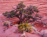Gnarled Utah Juniper, Juniperus osteosperma, and Mormon Tea, Ephedra viridi, Navajo Sandstone slickrock at Egypt, Glen Canyon National Recreation Area, Utah.