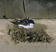 House Martin Delichon rubica L 12-13cm. Recognised by overall black-and-white appearance and striking white rump. Sexes are similar. Adult has mainly blue-black upperparts with white rump; underparts are white. Juvenile is similar but underparts are grubby and upperparts are duller. Voice Utters distinctive prrrt call in flight. Twittering song often delivered from overhead wires near nest. Status Locally common summer visitor. Typically constructs hemi-spherical mud nest under house eaves and overhangs, in loose colonies. On migration, often feeds on insects and congregates over freshwater.