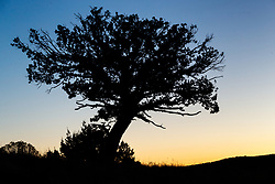 Lone tree on hillside at dusk, Ladder Ranch, west of Truth or Consequences, New Mexico, USA.