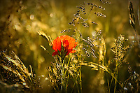 Beautiful golden evening light on the wild grass and flowers of Tennyson down on the Isle of Wight