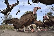 Hooded Vulture - Necrosyrtes monachus