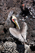 A Brown Pelican (Pelecanus occidentalis) preens itself on Isla Pitahaya in Bahia de Concepcion, Baja California Sur, Mexico. Brown Pelicans live in colonies, usually on islands like this one in the Sea of Cortez.