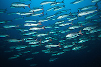 A school of Mullet Snapper swims by<br /> <br /> <br /> Shot at Cocos Island, Costa Rica