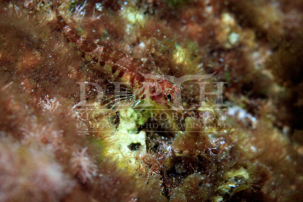 Enneapterygius kermadecensis (Kermadec triplefin).<br /> Sunday 04 October 2015.<br /> Photograph Richard Robinson © 2015<br /> Dive Number: 759.<br /> Site: South Meyer Island, Raoul Island, Kermadec Islands, New Zealand.<br /> Dive Buddy: Steve Hathaway.<br /> Boat: Braveheart.<br /> Temperature: 19 degrees.<br /> Maximum Depth: 27.1 meters.<br /> Bottom Time: 62 minutes.<br /> Bottom Time to Date: 42,310 minutes.<br /> Cumulative Time: 42,372 minutes.