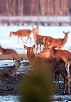 05.03.2013 wies Sloja woj podlaskie N/z ferma jelenia szlachetnego. Zwierzeta sa tu hodowane na mieso fot Michal Kosc / AGENCJA WSCHOD