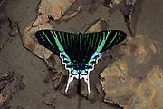 Green Urania Diurnal Moth<br />Urania leilus<br />Amazon Rain Forest. PERU South America