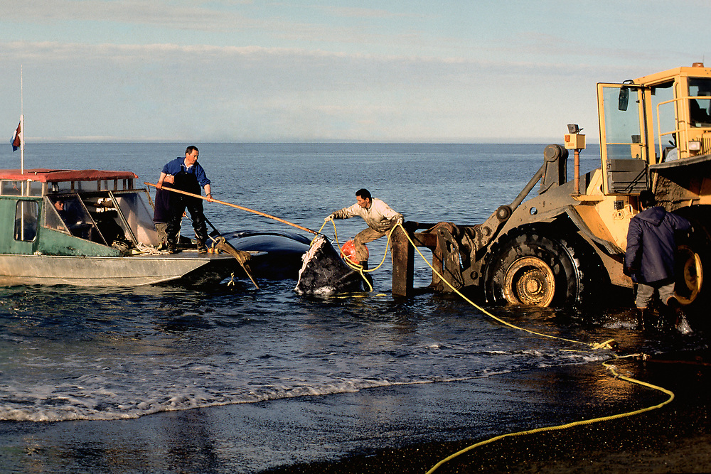 Barrow, Alaska, Whalers utilise a fork lift truck to transport the huge carcass of a bowhead whale onto land to harvest