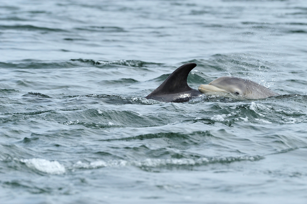 Female Bottle-nosed Dolphin with calf patrolling rip-current searching for salmon / sea trout,<br /> Tursiops truncatus,<br /> Moray Firth, Nr Inverness, Scotland - May