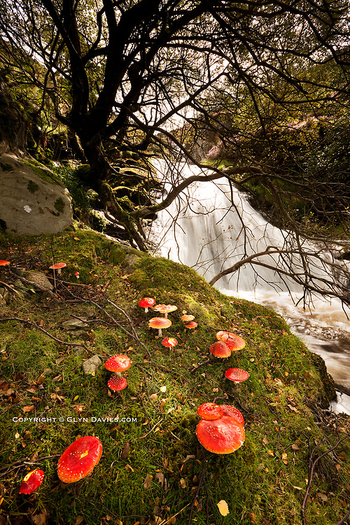 Fairy Ring of red Amanita muscaria toadstool mushrooms next to the Aber river in the hills up behind the high Rhaeadr Aber waterfall.
