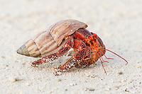 Red Hermit Crab (coenobita perlatus), D'Arros Island and St Joseph Atoll, Amirantees, Seychelles,