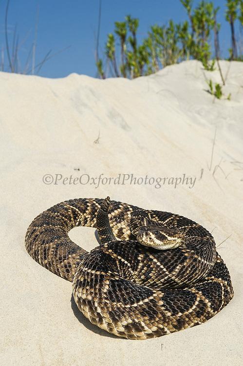 Eastern Diamondback Rattlesnake (Crotalus adamanteus) on Dunes<br /> Manipulated<br /> Little St Simon's Island, Barrier Island off Georgia<br /> USA<br /> RANGE: Southern United States
