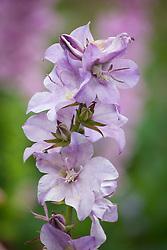 Campanula latiloba 'Hidcote Amethyst' - Great Bellflower
