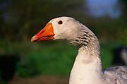 ADD2X0 White Embden English goose head close up