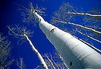 Scenic of aspen trees in winter near Yosemite NP, CA