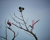 Osprey with a fish for breakfast and two Roseate Spoonbills on a dead tree. Biolab Road, Merritt Island National Wildlife Refuge. Image taken with a Nikon N1 camera, FT1 adapter, and 180 mm f/2.8 lens (ISO 200, 180 mm, f/2.8, 1/4000 sec).