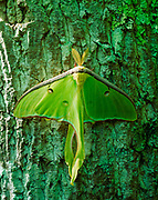 Luna moth, Acitias luna, Natural Bridge State Resort Park, Kentucky.