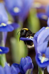 Bumble bee on Iris reticulata