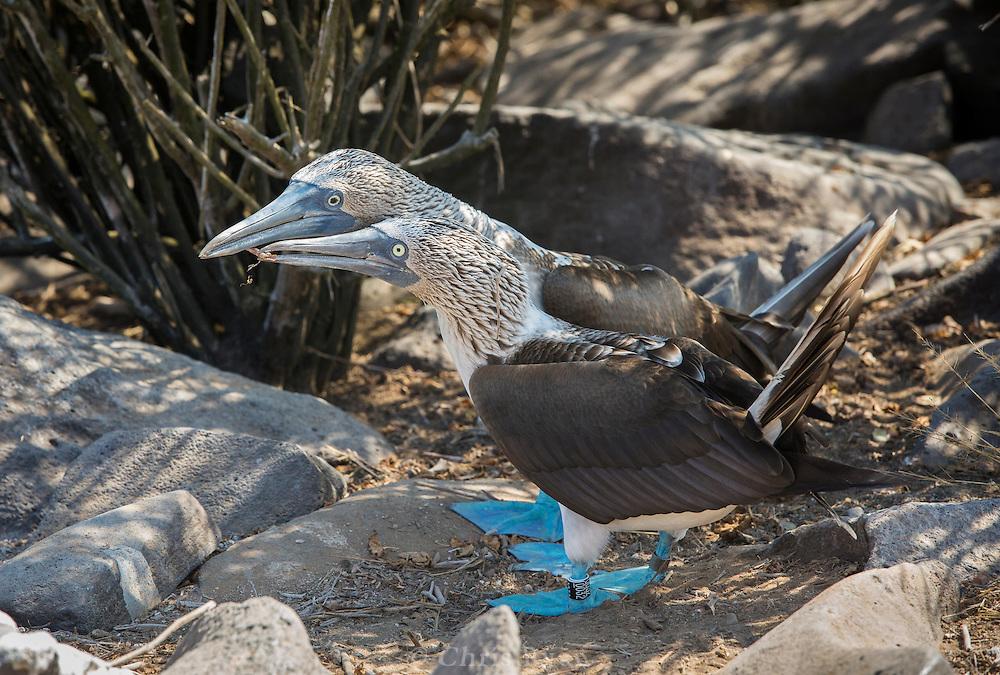 Blue-footed Boobies during mating ritual, Galapagos