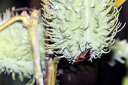 A Milkweed Bug (Oncopeltus fasciatus) clings to the bottom of a Common Milkweed pod
