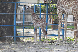 May 6, 2017 - A baby giraffe was born at the Dhaka Zoo today, in Dhaka, Bangladesh, May 6, 2017. Two different baby giraffe was born at the Dhaka Zoo on this week, which is the second incident of giving birth to a giraffe calf at Dhaka zoo. The first incident was occurred at 2013. (Credit Image: © Suvra Kanti Das via ZUMA Wire)