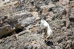 Leaping Mountain Goat, Snake River Range, Alpine Wyoming