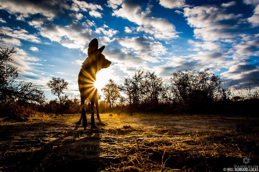 African wild dog (Lycaon pictus)  Hwange National Park, Zimbabwe. Photographed with BeetleCam.