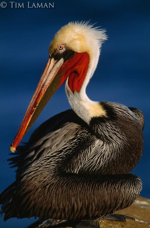Close view of a brown pelican (Pelecanus Occidentalis) in breeding plumage.
