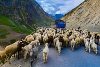 Sheep and goats being herded, Leh-Manali Highway, Himachal Pradesh, India.