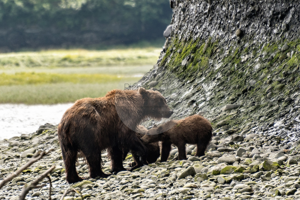 A grizzly bear sow watches her spring cubs playing in the lower lagoon at the McNeil River State Game Sanctuary on the Kenai Peninsula, Alaska. The remote site is accessed only with a special permit and is the world's largest seasonal population of brown bears.