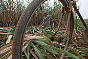 Farmers work to bring in the sugar cane harvest at a state-owned farm near Nanning, Guangxi Province,  China on 05 January 2010. Guangxi produces over 70 percent of all sugar in China.