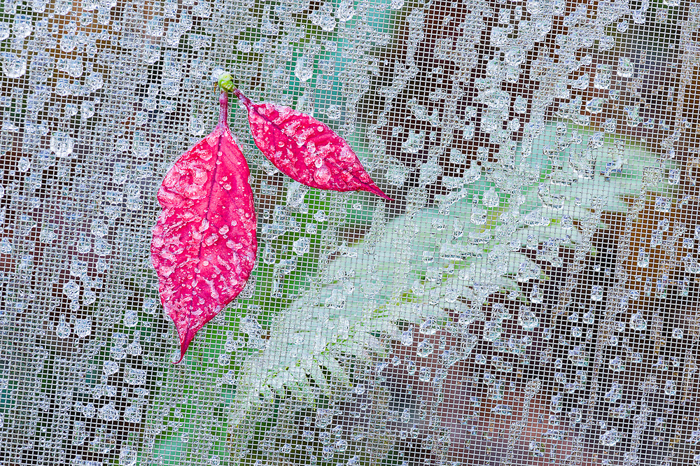 Poinsettia petals (Euphorbia pulcherrima) on a window screen with water droplets, overcast light, December, Clallam County, Olympic Peninsula, Washington, USA