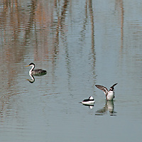 A Western Grebe (Aechmorphorus occidentalis) and Bufflehead Ducks (Bucephala albeola) float on a pond near Bozeman, Montana.