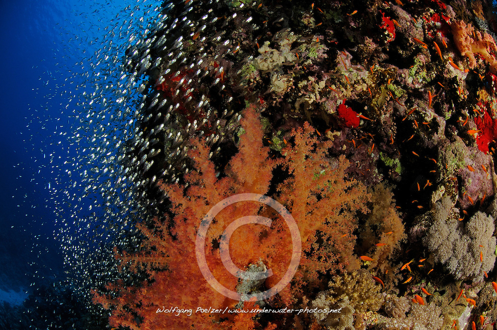 coral reef with soft corals, Dendronephthya hemprichi, and glassfishes, El Quseir, Egypt, Red Sea