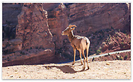 A juvenile Rocky Mountain Bighorn Sheep at The Colorado National Monument, Colorado, USA