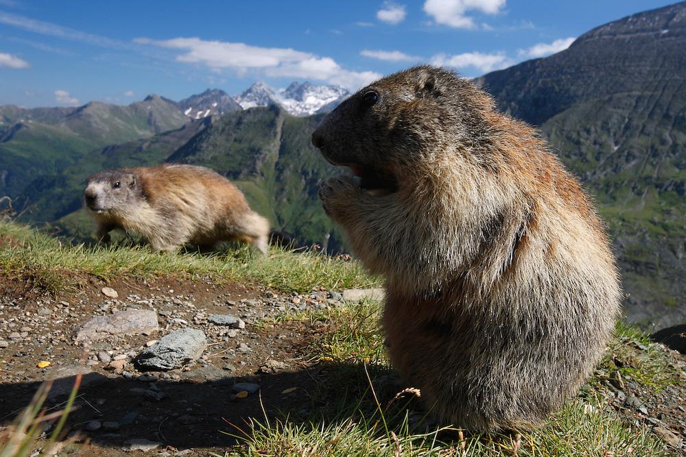 Alpine Marmot (Marmota marmota) feeding, Hohe Tauern National Park, Carinthia, Austria