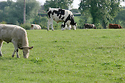 Livestock, farming, ireland, cattle, fields, grass, beef, dairy,