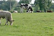 Livestock, farming, ireland, cattle, fields, grass, beef, dairy,