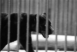 A black panther paces around its cage at the Parc Zoologique de Paris in the Bois de Vincennes, Tuesday, June 10, 1984, in Paris. (Photo by D. Ross Cameron)