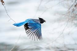 Steller Jay in Flight.