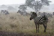 Plains zebras, Equus quagga, under the rain.