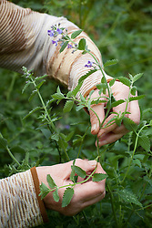 Taking heel cuttings from Nepeta 'Six Hills Giant'. Catmint